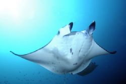  Manta,taken in maldives with nikon d2x and 12-24mm lens. by Puddu Massimo 